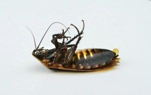 dead cockroach sigma pest control