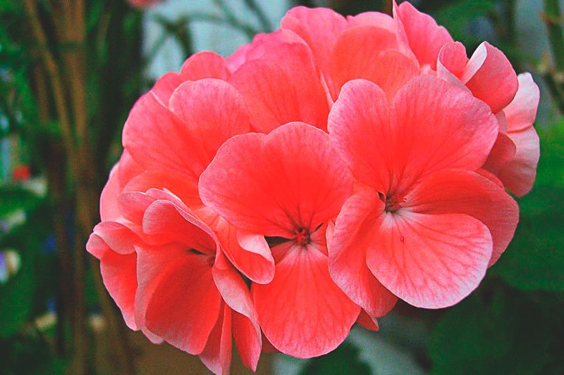estas son las flores del geranio con su rojo característico