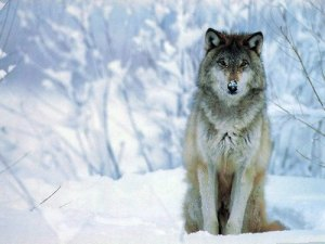 el lobo estepario da nombre a este color