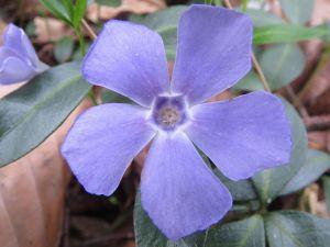 esta flor llamada bígaro da nombre a este color