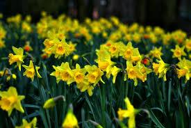 estas flores llamadas junquillos dan nombre a esta tonalidad del color amarillo