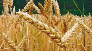 este cereal da nombre al color trigo