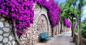 la buganvilla es una planta ornamental de bonitas flores que da nombre a este color