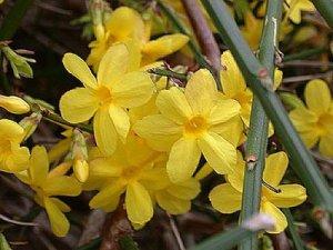 la flor llamada jazmin (en su variedad amarilla) da nombre a este color