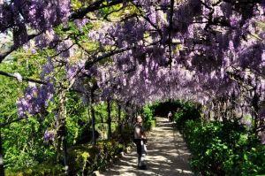 las flores de esta planta llamada wisteria dan nombre a este color