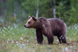los osos pardos son un ejemplo muy claro de esta tonalidad del color marrón