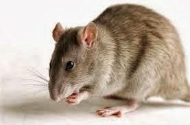 ▷ Sonhar com rato mordendo【IMPERDÍVEL】