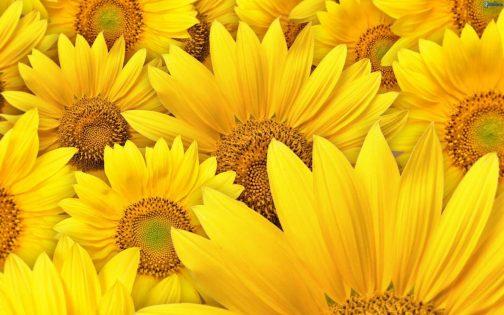 ▷ Sonhar com Flores Amarelas 【IMPERDÍVEL】
