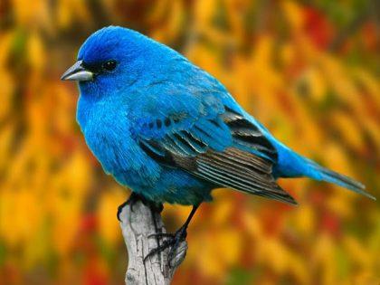 ▷ Sonhar com Pássaro Azul【Interpretações Reveladoras】