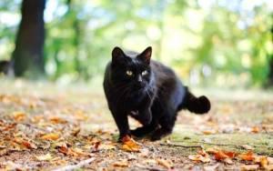 O que significa quando um gato preto segue você?