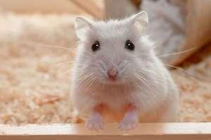 ▷ Sonhar Com Hamster 【7 Significados Reveladores】
