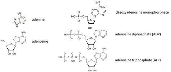 Adenosine-Adenine-ATP_thumb