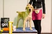 Puppy BIS, Labrador Retriever
