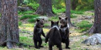 Medvedi, ki plešejo, foto: Valtteri Mulkahainen
