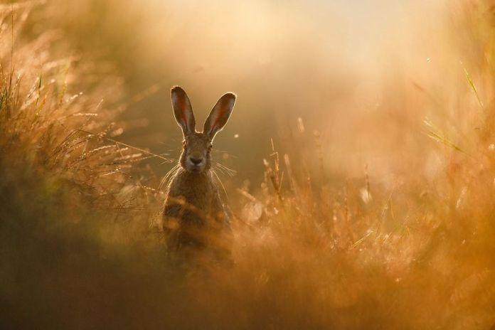 Poljski zajec, foto: Peter Lindel