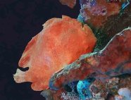 Giant Frogfish_Antennarius Commerson