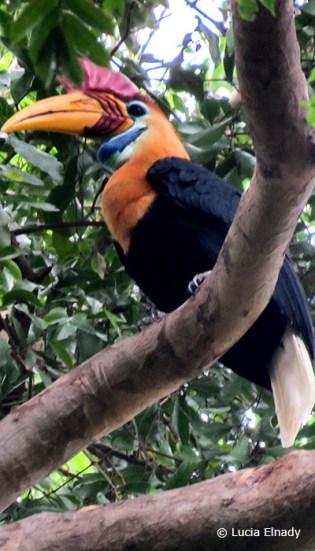 Hornbill in Tangkoko NP