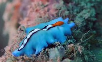 Racing Stripe Flatworm_Pseudoceros bifurcus