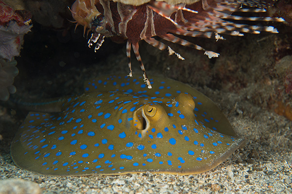 The Bluespotted Ribbontail Ray