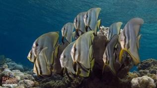 hausriff-indonesien-fledermausfische