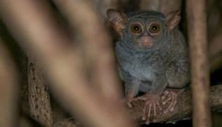 Tangkoko National Park - Tarsius tarsier