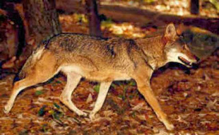h coyote
