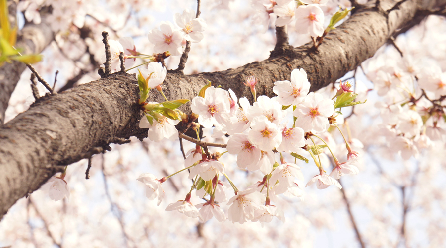cherry_blossoms_01