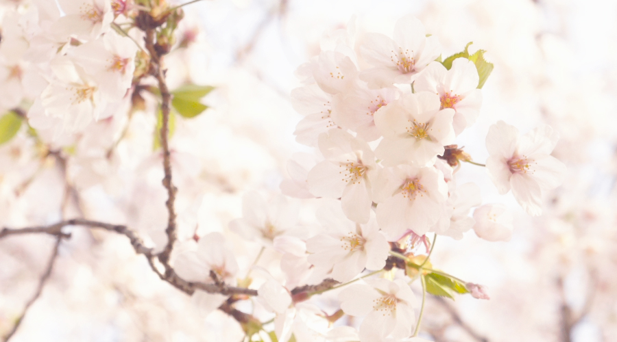 cherry_blossoms_02