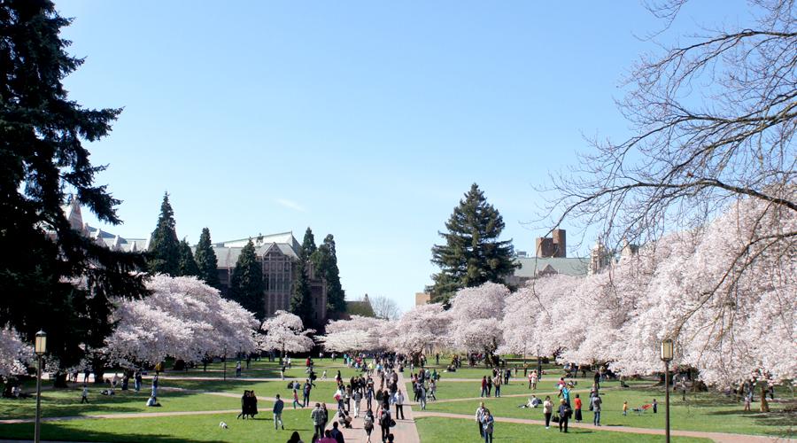 uw_cherry_blossoms