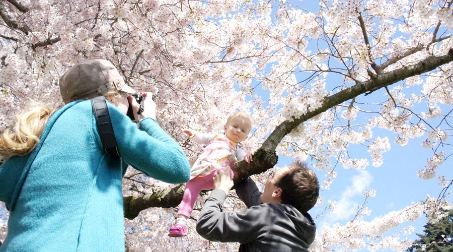 uw_cherry_blossoms4