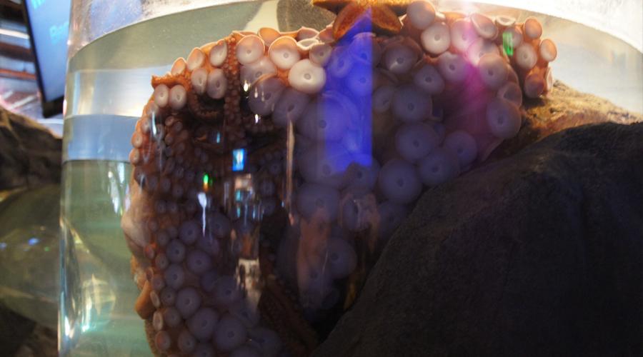 01-seattle-aquarium-octopus