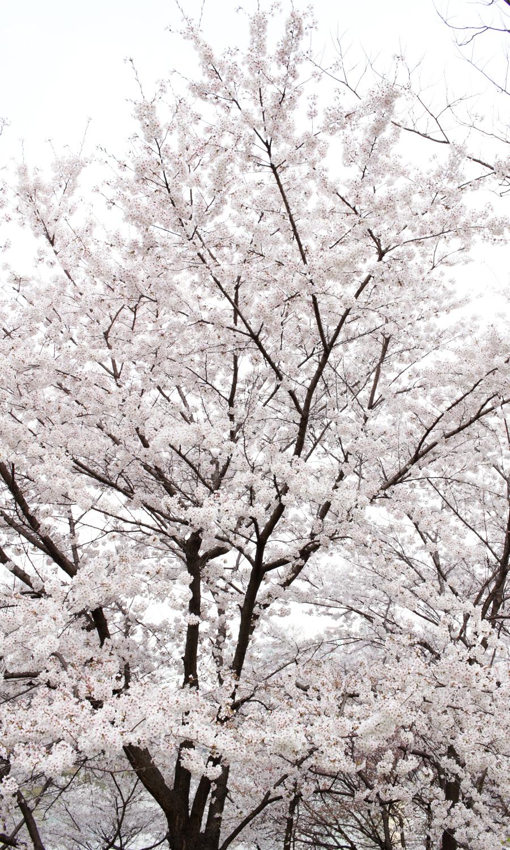 2015-04-09-korea-seoul-jamshil-seokchon-lake-cherry-blossoms-12