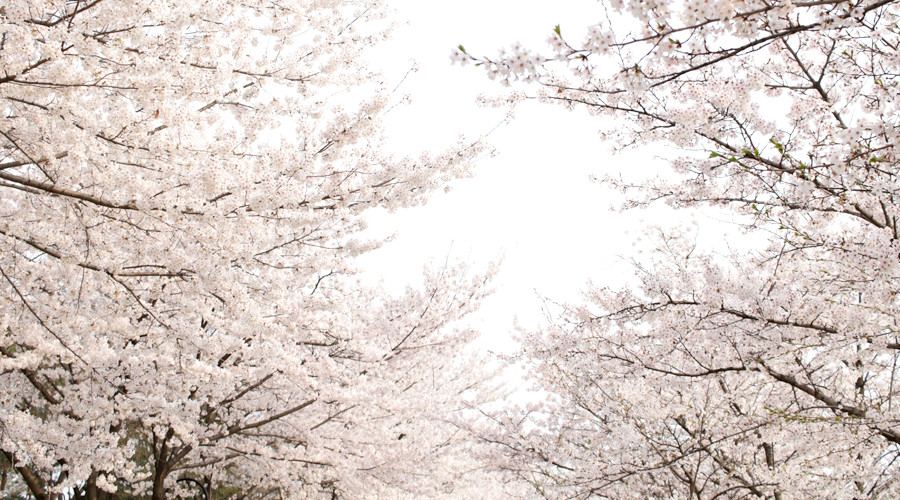 2015-04-09-korea-seoul-jamshil-seokchon-lake-cherry-blossoms-13