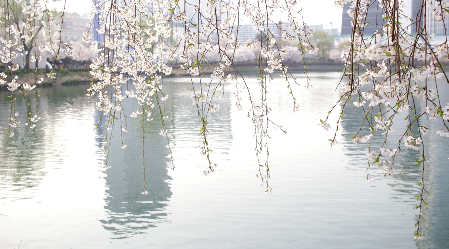 2015-04-09-korea-seoul-jamshil-seokchon-lake-cherry-blossoms-14