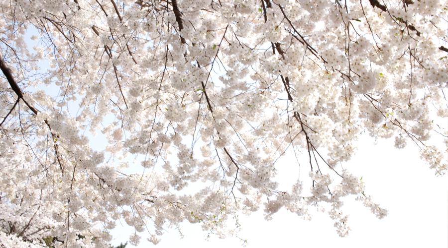 2015-04-11-korea-seoul-ansan-cherry-blossoms-07