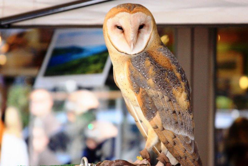 """Barn owl, """"Tullulahbelle"""""""