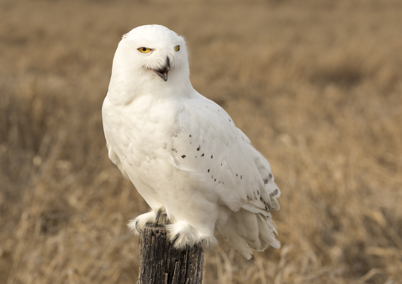 "Snowy Owl, ""Oz"". Photo © Warren Green."