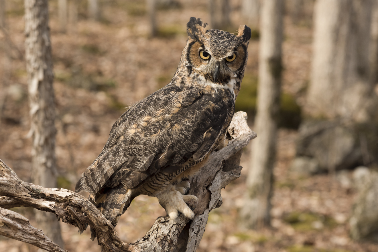 "Great horned owl, ""Victoria"". Photo © Warren Green."