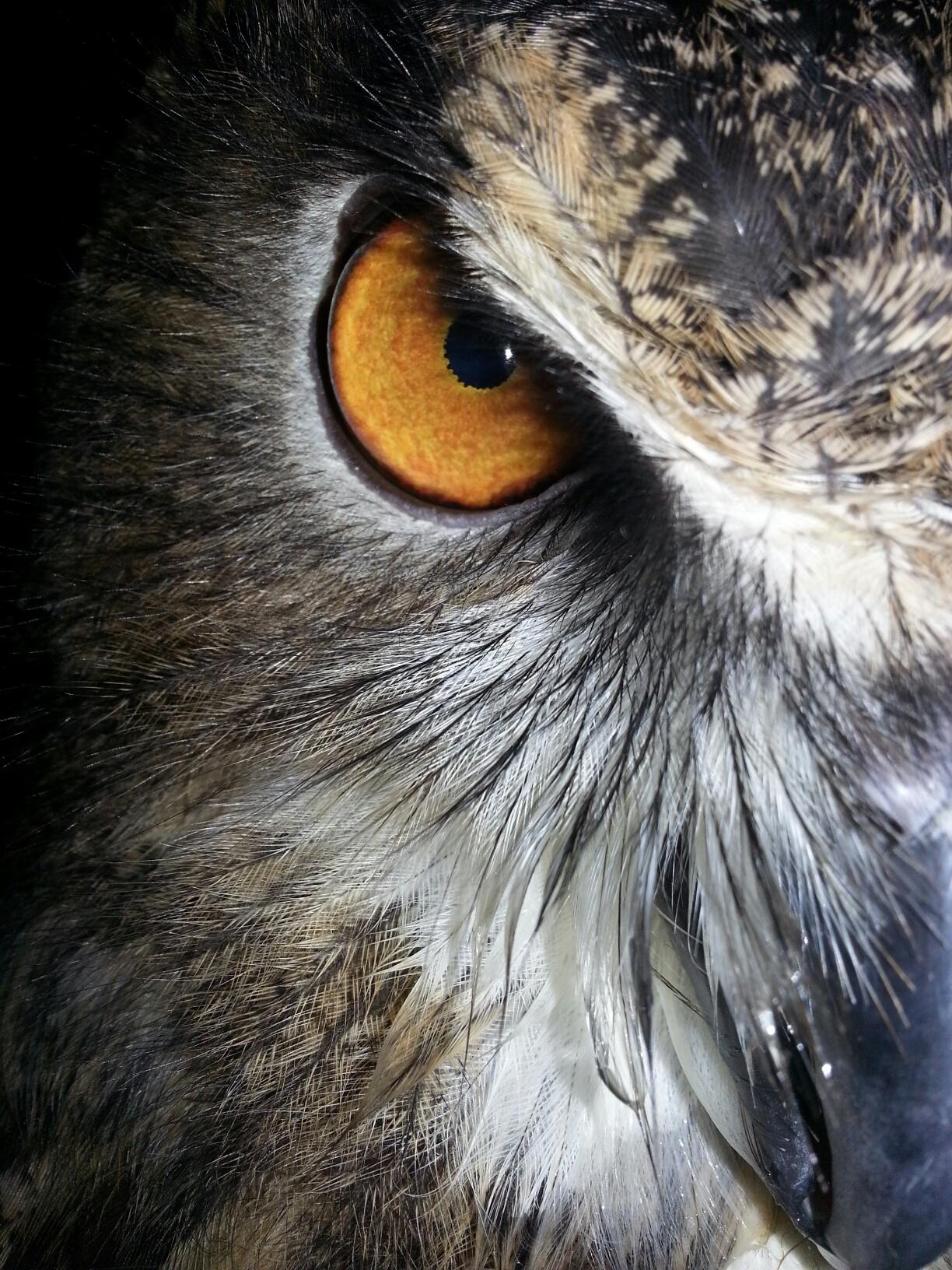 Wyatt eye