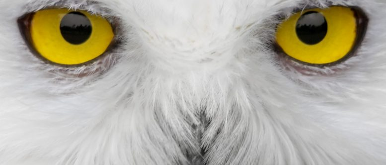 snowy owl watches crop circles