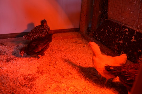 The chicks in their temporary indoor enclosure