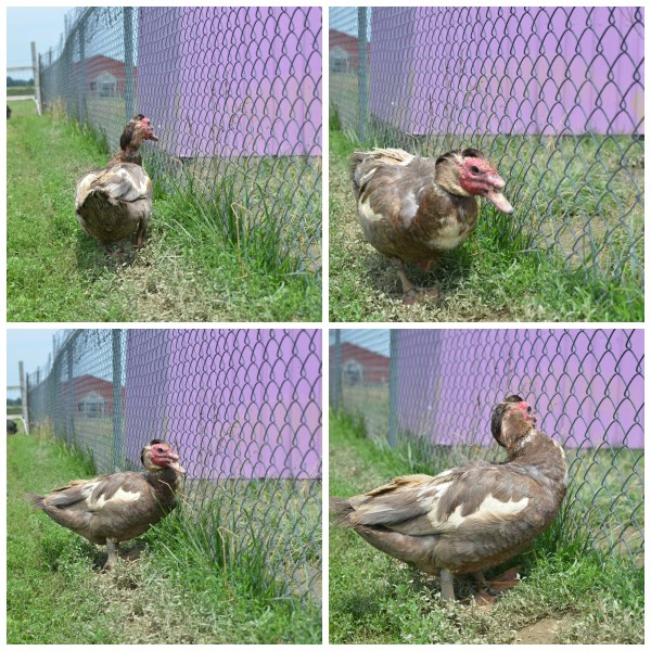 duck drama