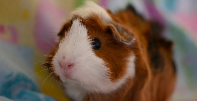 Adventures in Guinea Pig-ing