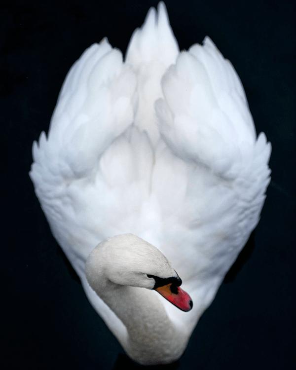 cisne-blanco-simbolo-pureza