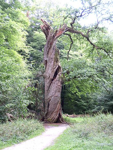 Die gedrehte Eiche im Neuenburger Urwald