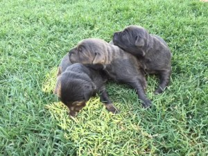 Female Charcoal Lab Puppies for Sale