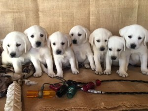 White Lab Puppies on the Couch