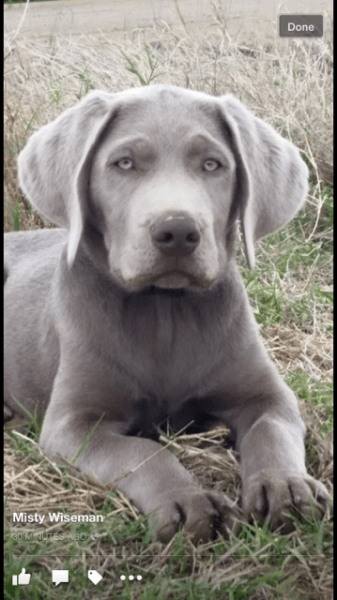 Silver Lab Retriever Puppies for Sale | Silver and Charcoal