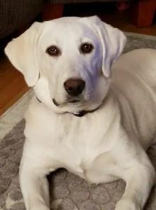 White Labrador Retriever Dog
