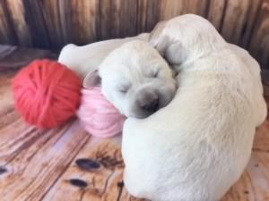 White lab pups